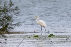 Great Egret at Presqui'le