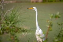 Great Egret in Sunshine