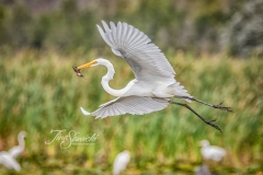 Great Egret with Fish Flying