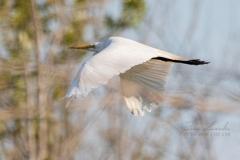 Great Egret Take Off