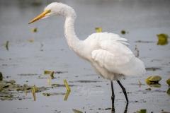 Fluffy Great Egret