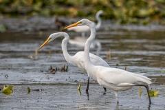 Many Great Egret