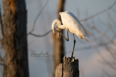 Itching Great Egret