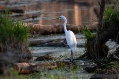 Great Egret Slaab Creek