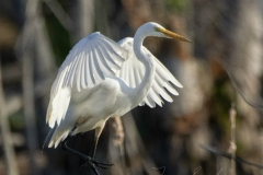 Great Egret Wings Up Posing