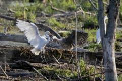 Great Egret Fighting Great Blue Heron