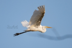 Great Egret Flying Wings Out