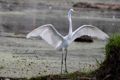Great Egret Standing Wings Up