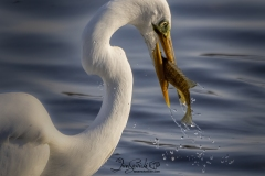 Fishing Great Egret