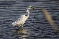 Fishing Great Egret 2