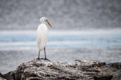 Belleville Waterfront Great Egret