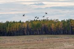 Evening Sandhill Cranes