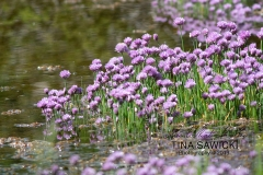 Water Edge Wild Chives