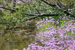 Wild Chives on the Banks