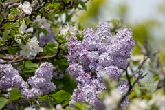 Lilacs in the Apple Blossoms