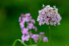 Allium Purple Heaven