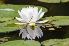 Reflections of a Water Lilly