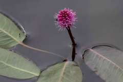 Purple Water Flower