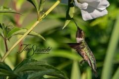 Hummingbird Feeding - click for full
