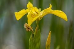 Yellow Marsh Iris - 3