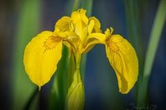 Yellow Marsh Iris - 2