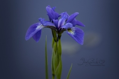 Marsh Iris - Purple