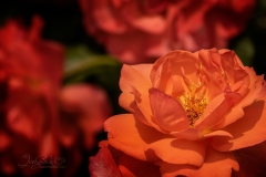 Shades of Red Roses