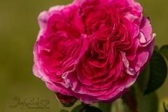 Double Stuff Rose