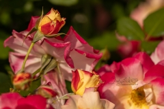 Red Yellow Roses 4
