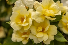 Yellow Rose Cluster 2