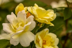 Yellow Rose Cluster 1