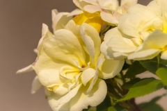 Yellow Rose Cluster 3