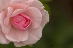 Cropped Pink Rose