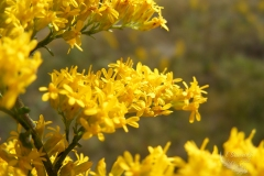 Yellow Solidago