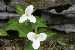 Trilliums by Two