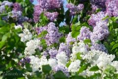 Lilacs in the Sun