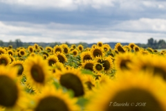 Sunflowers as Far as You Can See