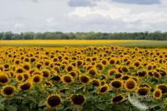 Forever Sunflowers