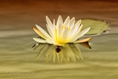 Artistic Water Lilly
