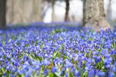 Field of Blue Scilla