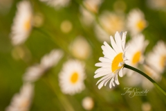 Leaning Daisies