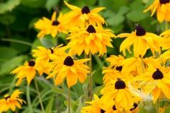 Black-Eyed Susans in the Sun