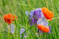 Poppies and Iris Sharing the Frame