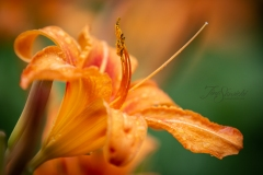 Single Day Lilly