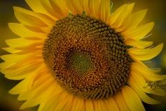 Large Sunflower
