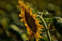 Leaning Sunflower
