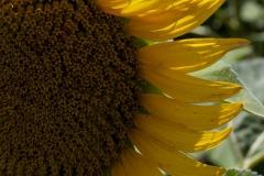Zoomed in Sunflower