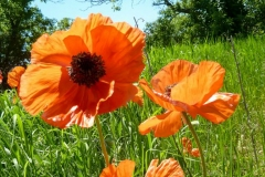 Poppies by Three