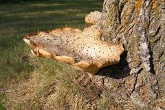 Large Tree Fungus