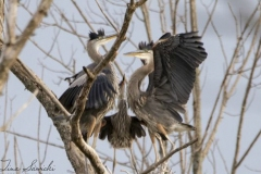 Young Herons in Nesting Tree